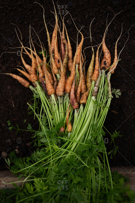 Pile of fresh picked carrots lying on dirt