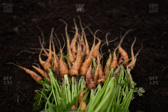 Close up of a bunch of fresh picked carrots lying on dirt