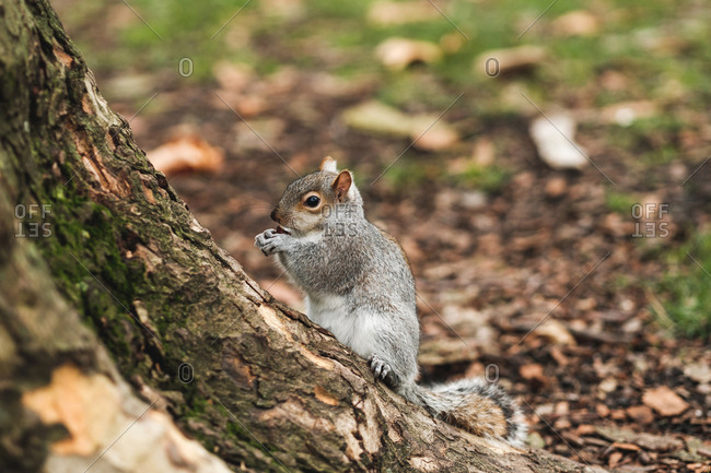 Cute squirrel sitting on dry leaves on lawn in calm autumn park in London