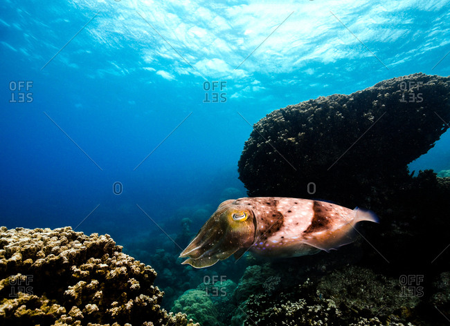 Adult Broadclub Cuttlefish swimming in front of coral in the Great Barrier Reef, Queensland, Australia
