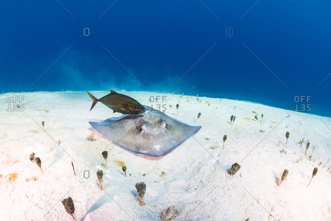 Southern Stingray (Hypanus americanus) and a bar jack on the sandy ocean floor in Utila, Honduras