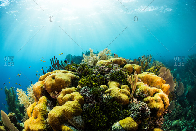 Colorful coral reefscape featuring sea fans, hard coral, soft coral, sponges and reef fishes with blue background in Utila, Honduras