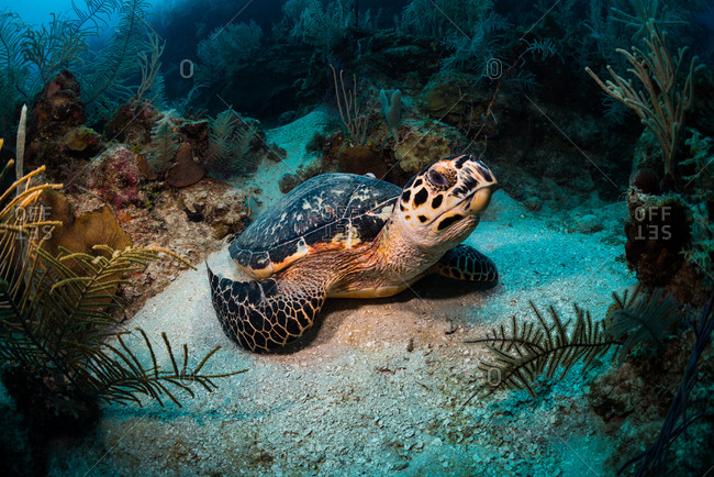Green sea turtle resting on a sand patch underwater in Utila, Honduras