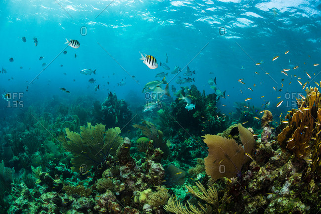 Beautiful reefscape in Utila, Honduras featuring soft corals and sergeant major fish