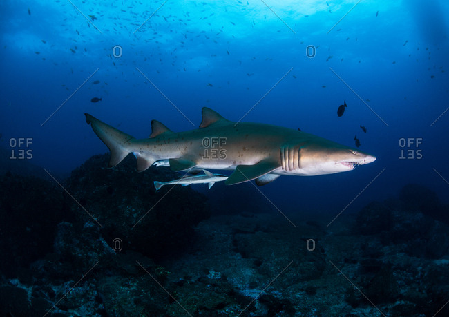 Grey nurse shark swimming underwater in the South Solitary Island of New South Wales, Australia