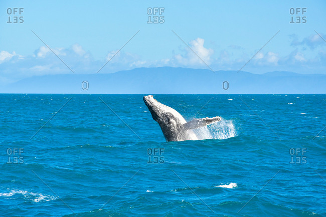 Humpback whale breaching out of the water.  The whale is jumping out of the water onto its back out of  Port Douglas, Australia.