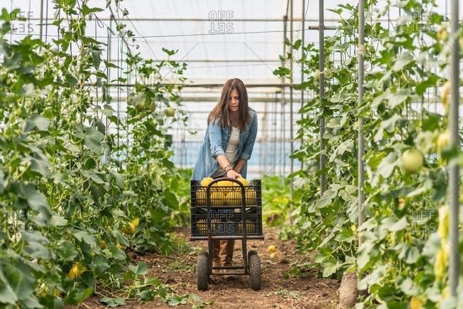 Farmer harvesting ripe melons in greenhouse