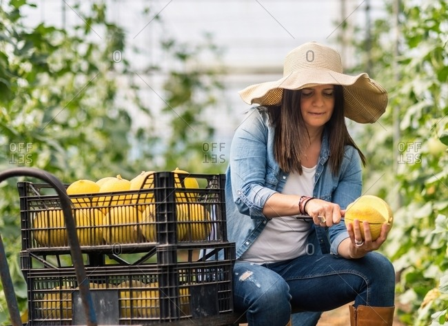 Attentive cautious adult woman in denim clothes and hat with large brim focusing and slicing delicious ripe sweet yellow round melon