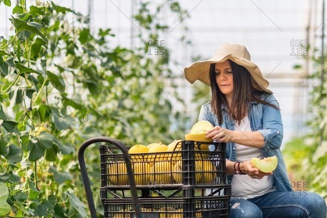 Farmer cutting fresh melon in hothouse