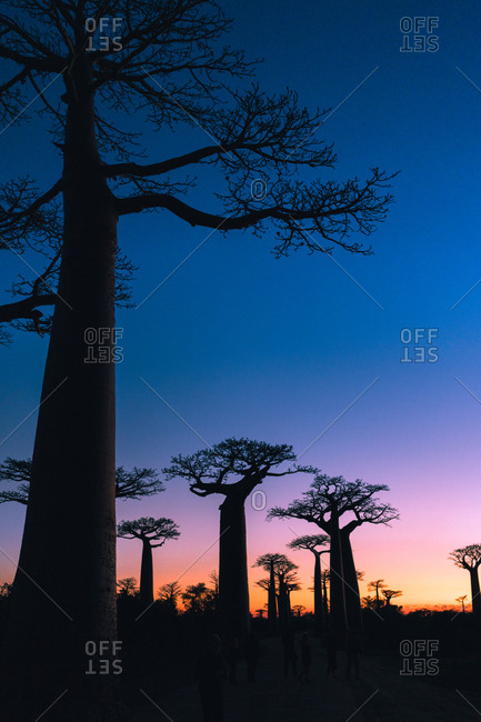 Amazing view of sky with vibrant transition among giant tree at Alley of Baobabs in Menabe region of western Madagascar during sunrise
