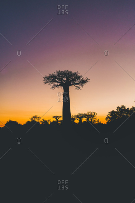 Wonderful sunset among giant baobabs