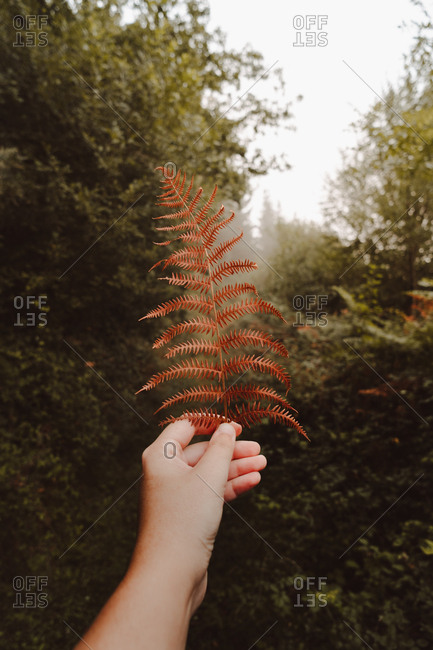 Crop unrecognizable person hand holding wilted orange huge leaf of ferns on background of trail under gray sky in foggy autumn dense forest during daytime
