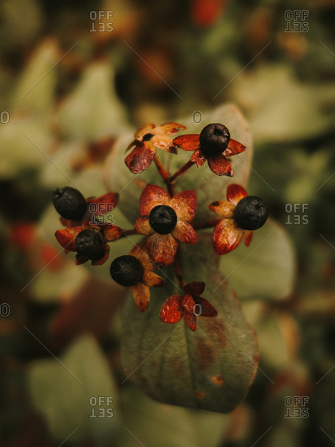 Deadly nightshade toxic black berries on red and orange flower heads with five petals on blurred background of green leaves with brown spots
