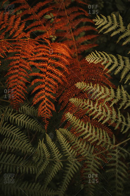 Wild fresh green and wilted orange huge leaves on stems of lush ferns in dense forest during autumn sunny day
