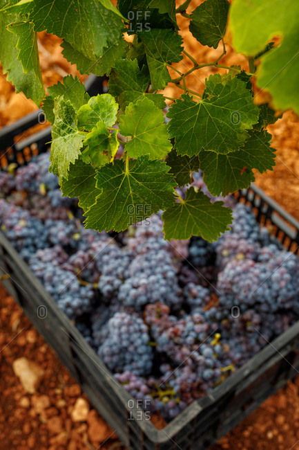 High angle of ripe grapes in plastic pallet on ground