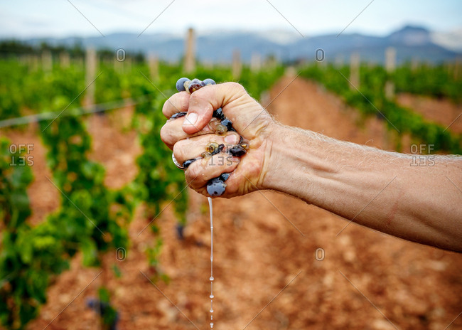 Crop strong man squeezing ripe juicy grape at vineyard on blurred background