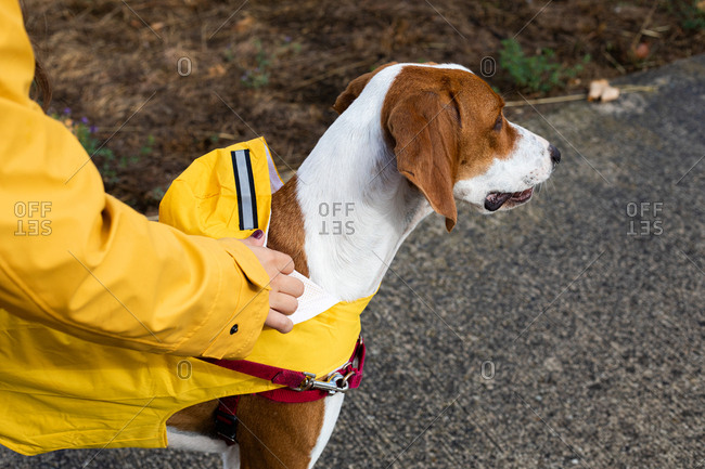 Crop woman in yellow jacket holding English Pointer oh leash in street