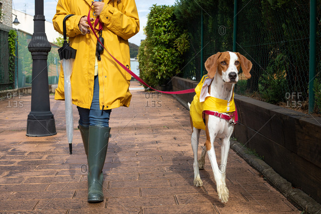 Crop unrecognizable woman in yellow jacket with hood and rubber boots walking with English Pointer in yellow cloak on leash in rainy day in street