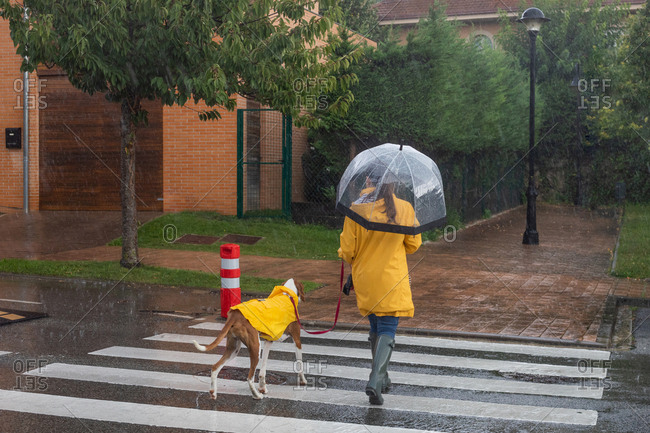 Back view of unrecognizable woman in yellow jacket and rubber boots with umbrella moving on road through crosswalk holding English Pointer on red leash under rain