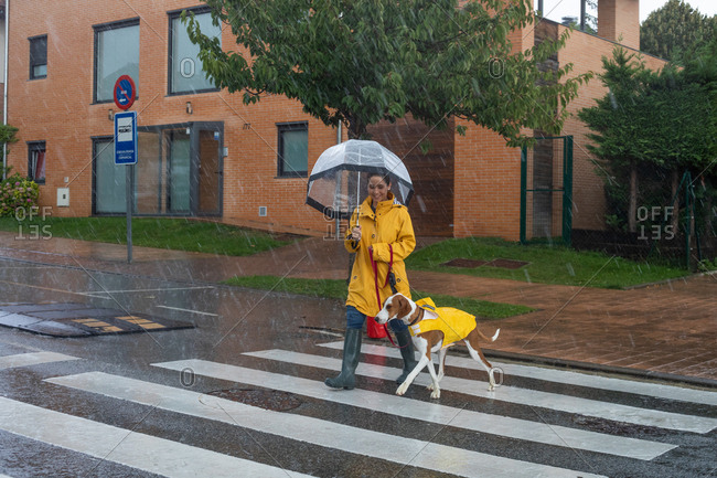 Smiling woman in yellow jacket and rubber boots with umbrella moving on road through crosswalk holding English Pointer on red leash under rain