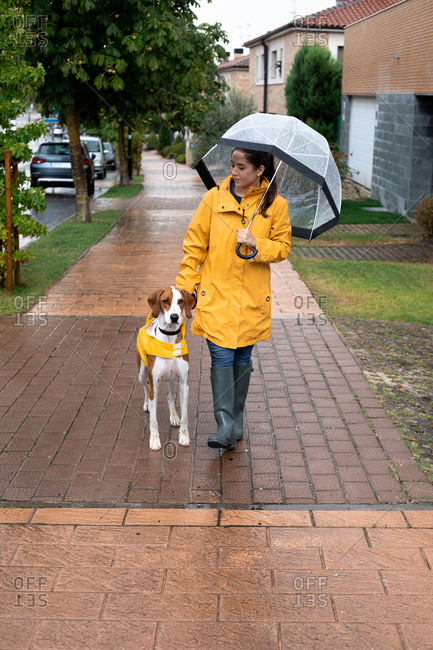 Woman in yellow jacket with hood and rubber boots walking with English Pointer in yellow cloak on leash in rainy day in street