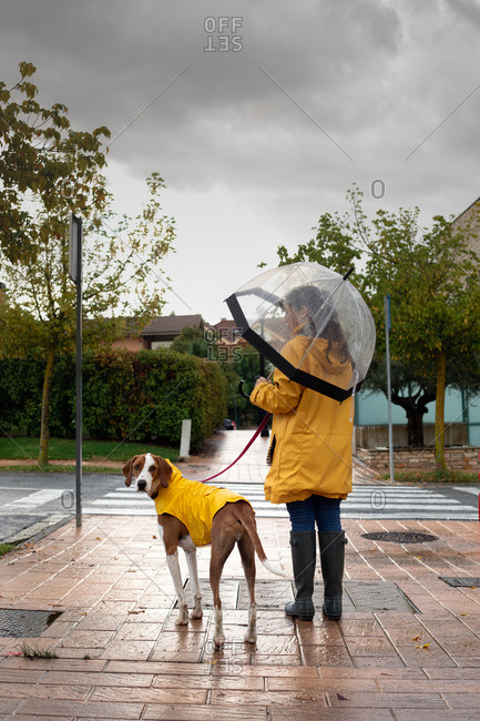 Back view of unrecognizable woman in yellow jacket with hood and rubber boots walking with English Pointer in yellow cloak on leash in rainy day in street