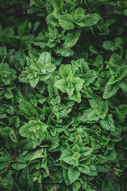 From above aromatic mint shrub with green leaves growing in garden in Marrakesh, Morocco