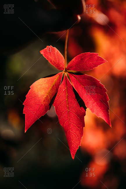 Autumn branch with bright red orange leaves in contrast light and shadow in nature