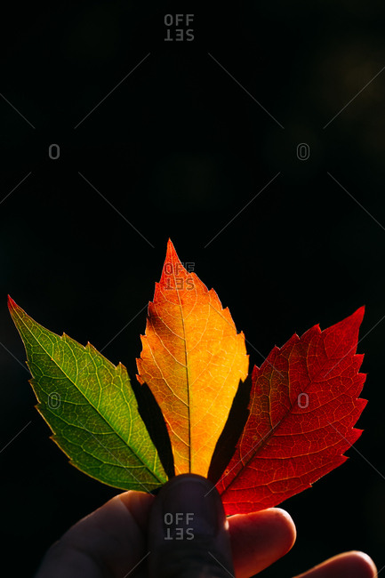 Crop person holding vibrant yellow red autumn leaves in soft back lit