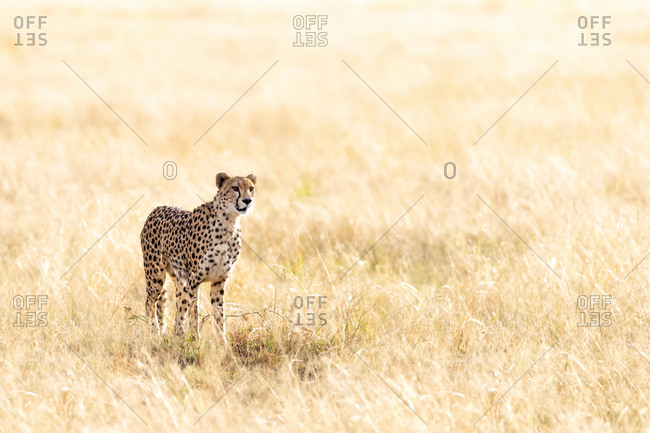 Cheetah standing in the long grass and sunlight of the Masai Mara