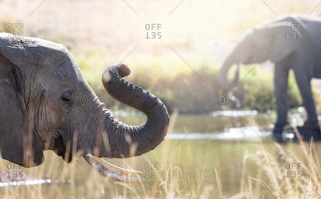 African elephants at a watering hole in the Masai Mara, Kenya