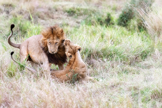 Dominant male lion interacts with lioness in the Masai Mara, Kenya