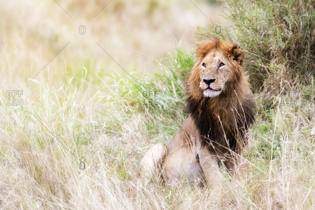 Young adult male lion sitting in the grasslands of the Masai Mara, Kenya