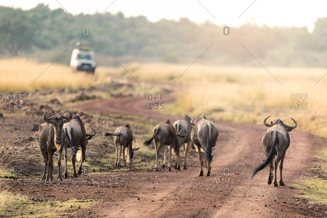 Wildebeest on a dirt road in the Masai Mara, Kenya, in early morning light. A safari vehicle can be seen in the background.