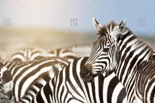 Zebra herd in sunlight in the Masai Mara, Kenya