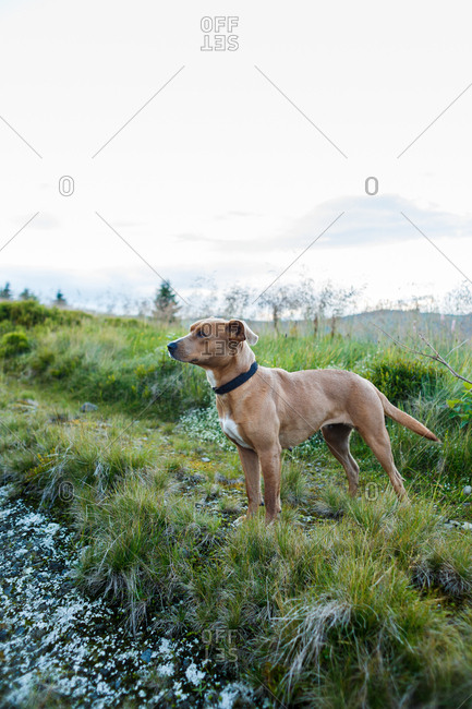 red-haired dog with a black collar on a mountain road among grasses