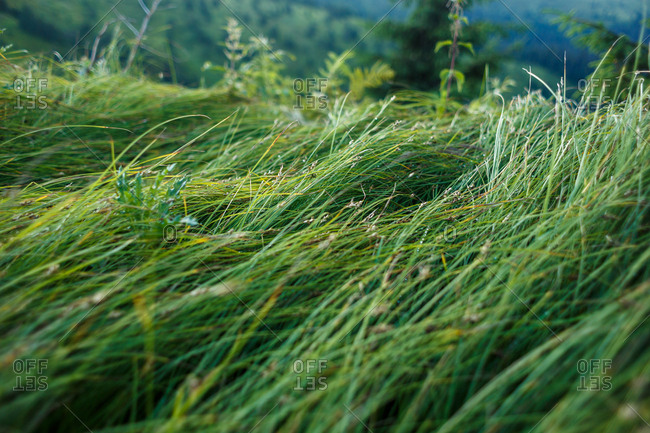mountain green grasses are sloped by wind and rain