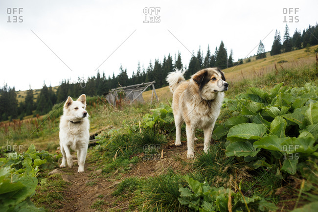 dogs among green Carpathian spaces