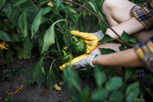 The farmer girl holding green bell pepper on green farm at sunset