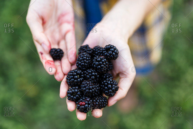 The farmer girl assessing the quality of  blackberry on green farm