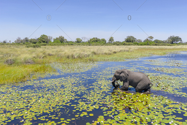 On a sunny day, an elephant crosses a river in Botswana
