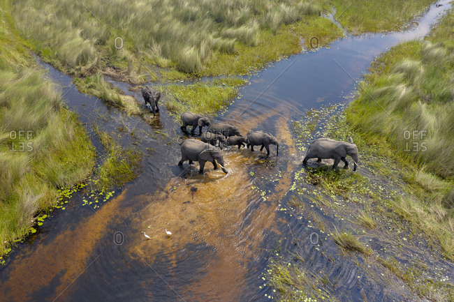 a group of elephants crosses a small river