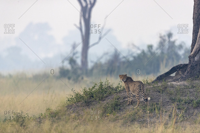 a cheetah watching over the surroundings from a mound of earth