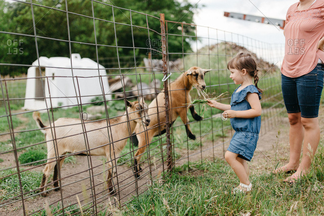 Little girl feeding a goat
