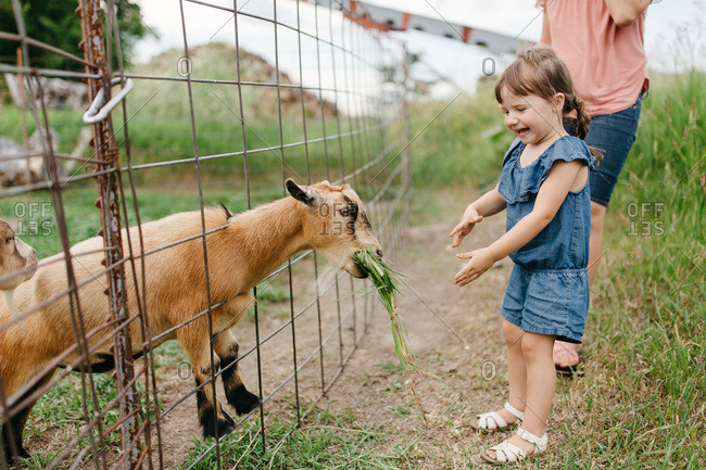 Little girl feeding a goat on a farm