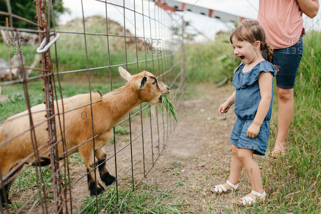 Excited little girl feeding a goat on a farm
