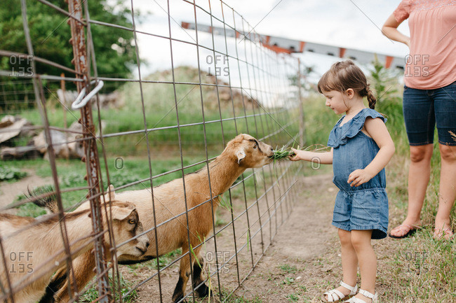 Young girl feeding a goat on a farm