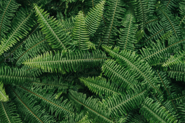 Grouping  of ferns in even light creating excellent background