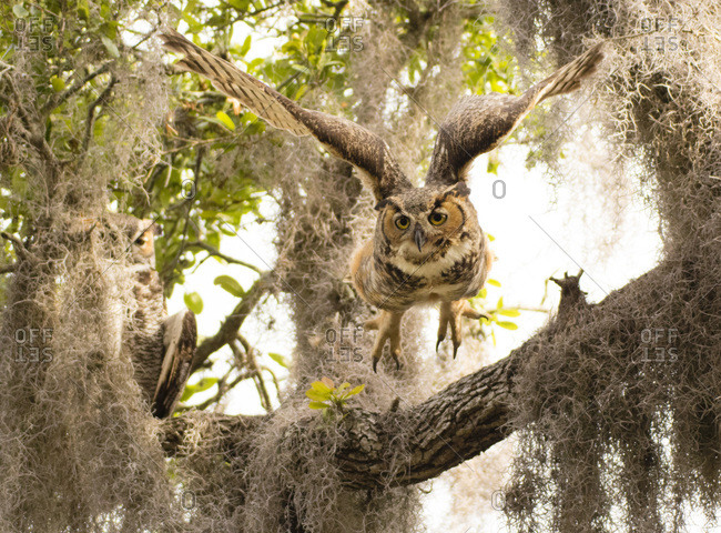 Adult great horned flies down from high branch