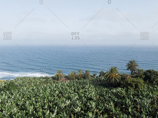 Scenic view of banana plantation, palm trees with ocean in background